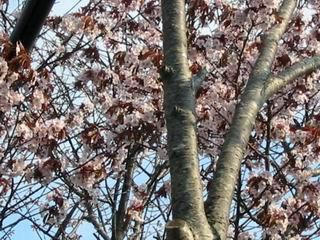 市内某所にある桜並木